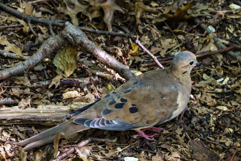 Оплакивая macroura Zenaida голубя -- также как американский оплакивая голубь или голубь дождя -- стоять на травянистой лужайке вн стоковое изображение rf
