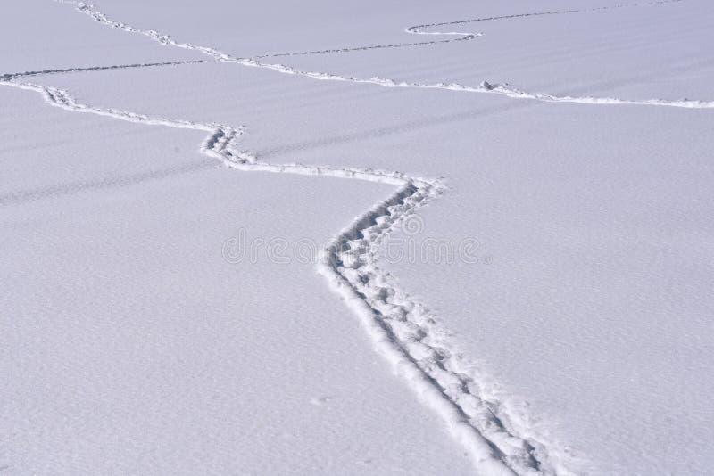 Оплетая животные следы в снеге стоковые изображения rf