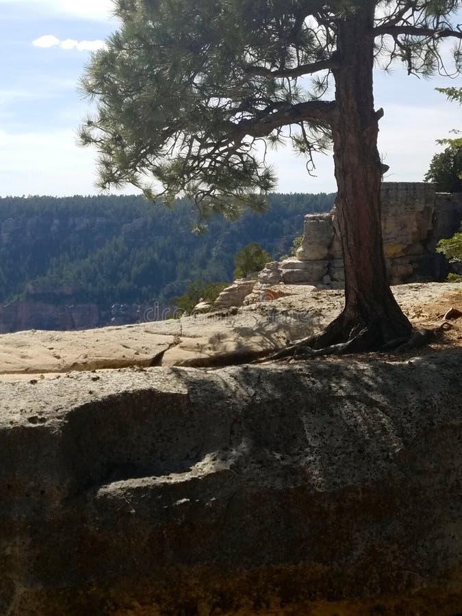 Оправа сосны обозревая северная гранд-каньона стоковое фото rf