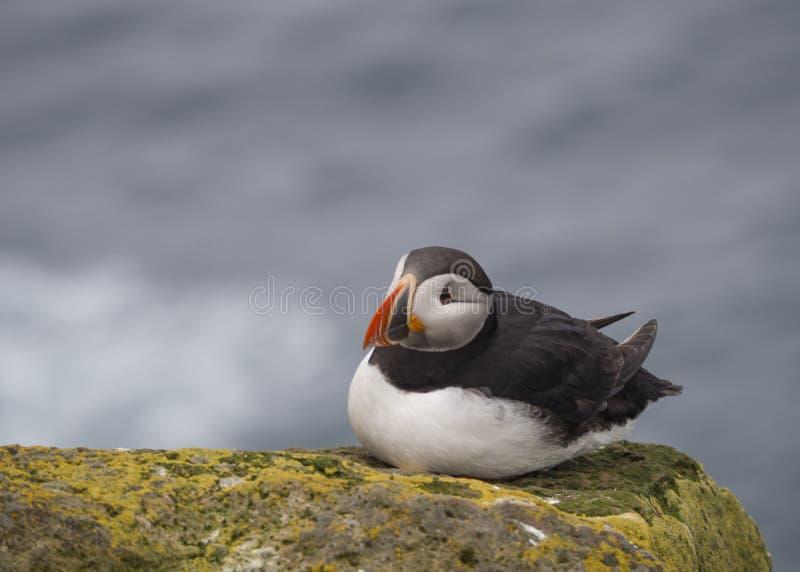 Определите близко вверх по arctica Fratercula атлантического тупика сидя на утесе скал птицы Latrabjarg стоковые фотографии rf