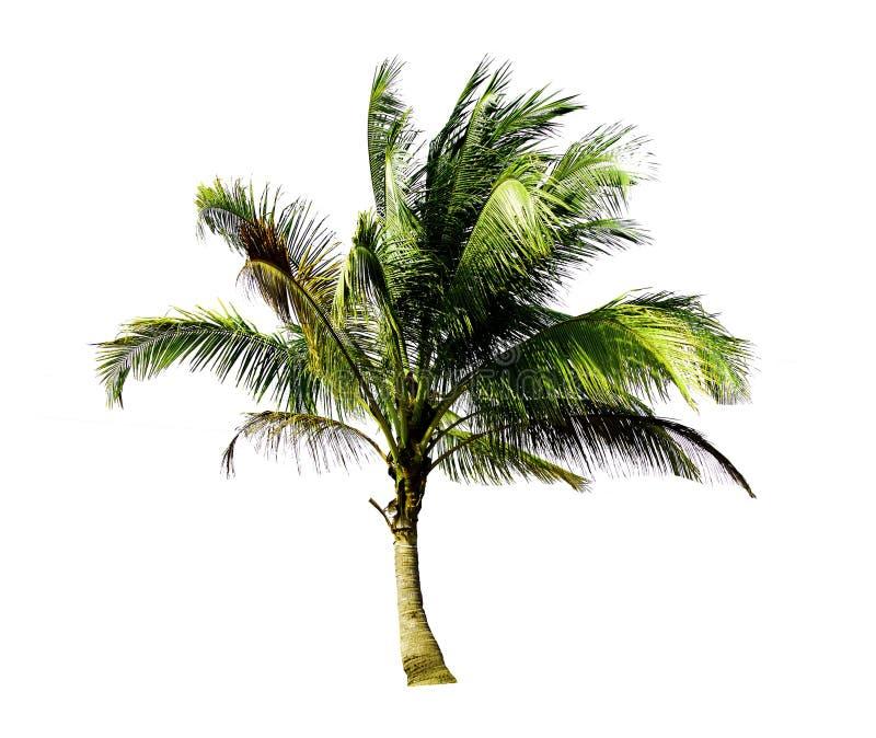 Определите кокосовую пальму растя вверх на пляже моря изолированном н стоковые фотографии rf
