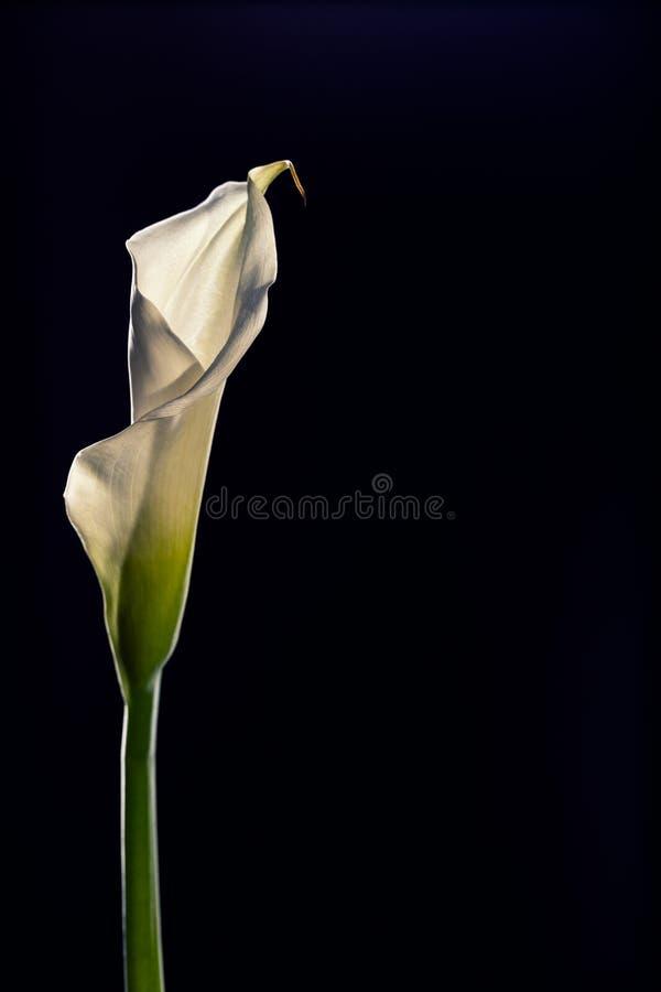 Определите красивый белый цветок лилии Calla изолированный на черном bac стоковые изображения rf