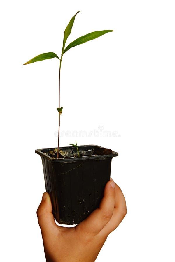 Определите молодой бамбуковый завод в малом прямоугольном пластичном цветочном горшке, который держит маленький ребенок в правой  стоковое изображение rf