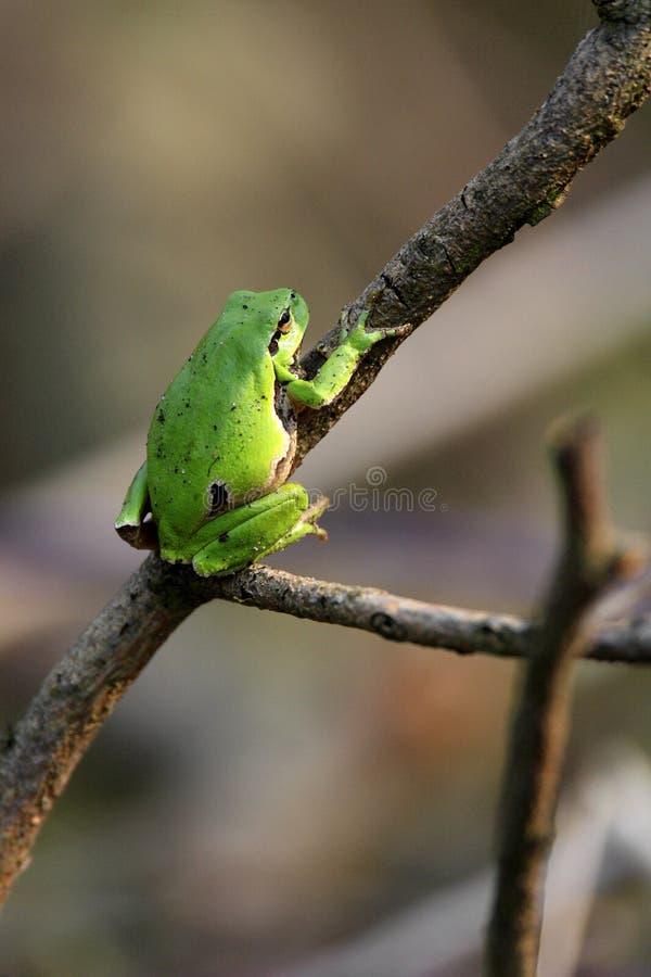 Определите общую древесную лягушку отдыхая на сезоне ветви дерева весной стоковая фотография