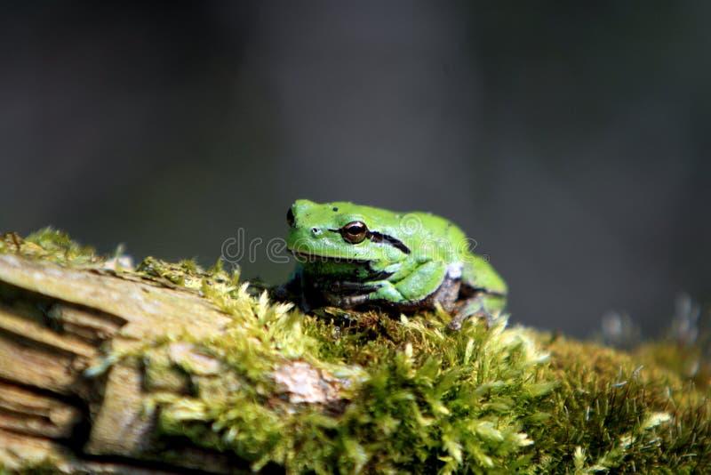Определите общую древесную лягушку отдыхая на сезоне ветви дерева весной стоковое фото rf