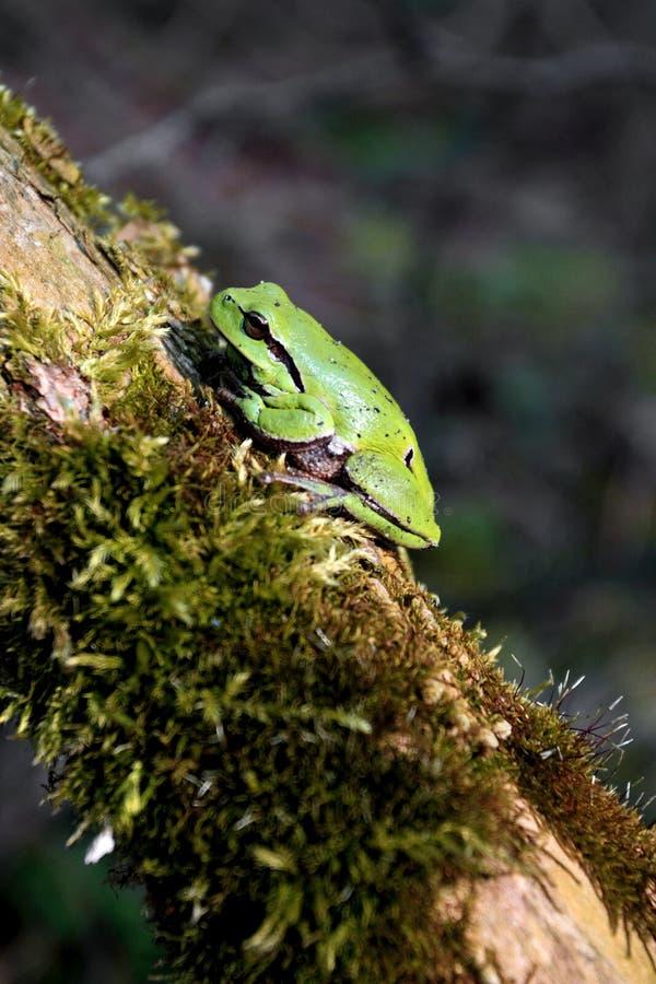Определите общую древесную лягушку отдыхая на сезоне ветви дерева весной стоковое изображение rf