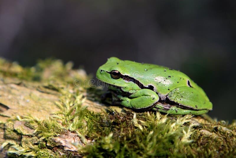 Определите общую древесную лягушку отдыхая на сезоне ветви дерева весной стоковое фото
