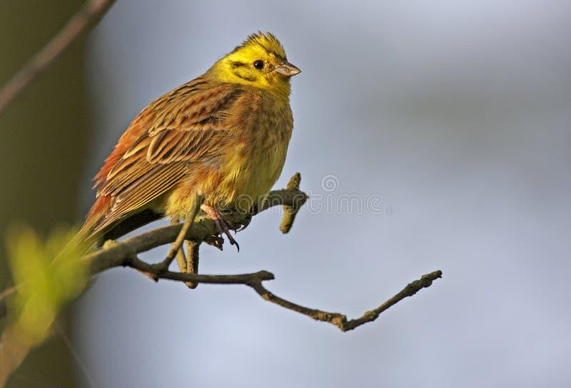 Определите птицу Serin европейца на хворостине дерева во время вложенности весны стоковая фотография