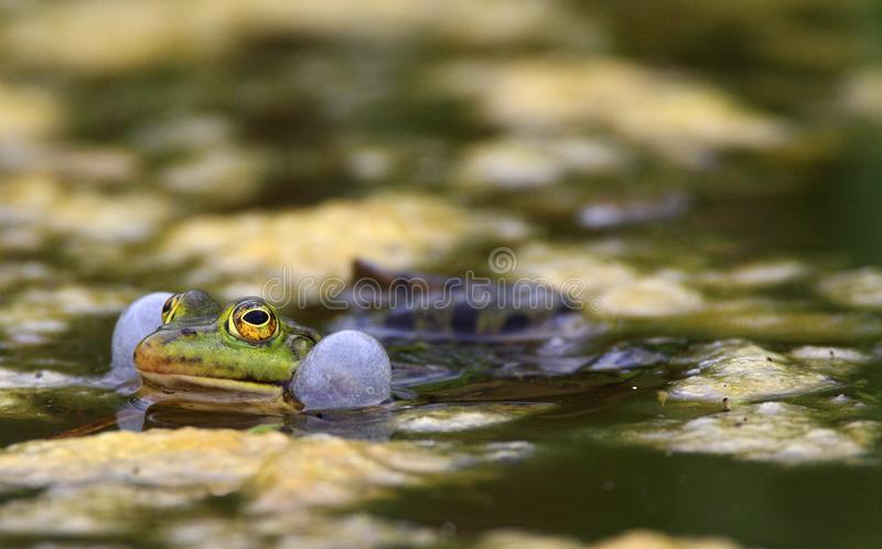 Определите съестную лягушку на поверхности воды во время периода весны сопрягая стоковое фото