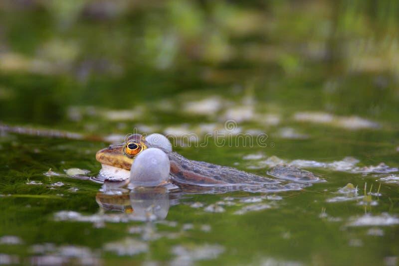 Определите съестную лягушку на поверхности воды во время периода весны сопрягая стоковые изображения rf