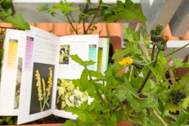 Определять полевой цветок с проводником поля ботаники стоковые фотографии rf