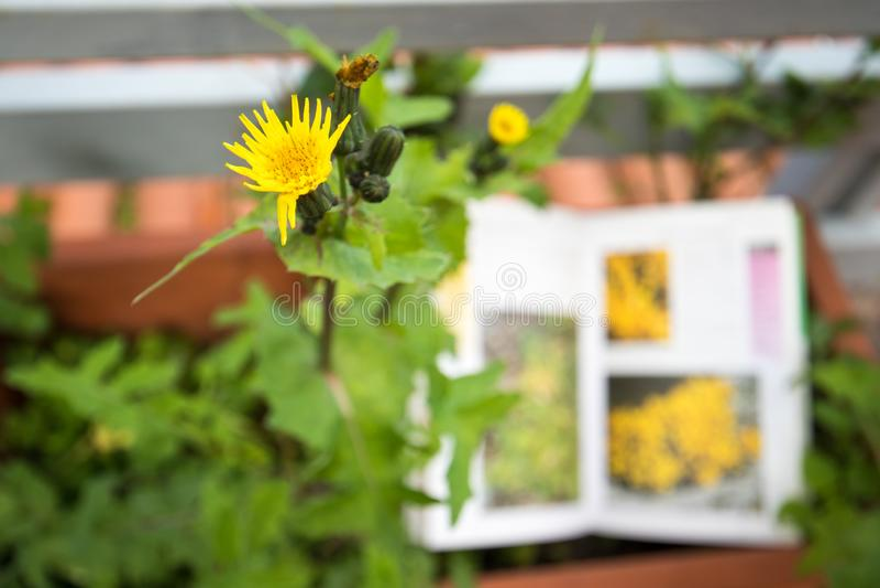 Определять полевой цветок с проводником поля ботаники стоковое фото rf