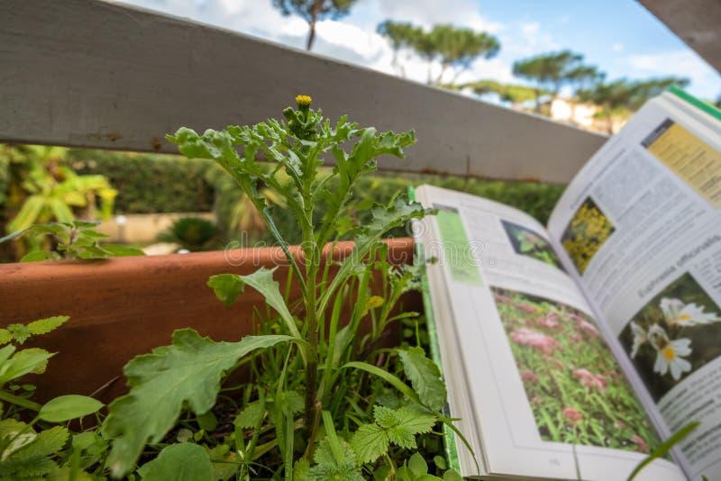 Определять полевой цветок с проводником поля ботаники стоковое фото