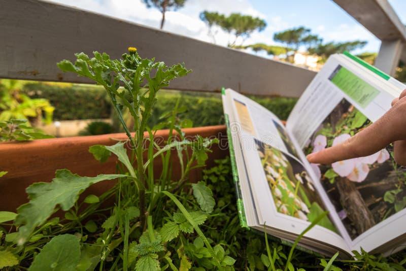 Определять полевой цветок с проводником поля ботаники стоковая фотография