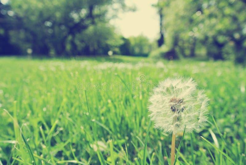 Определите белый одуванчик в траве, винтажную концепцию стоковые изображения