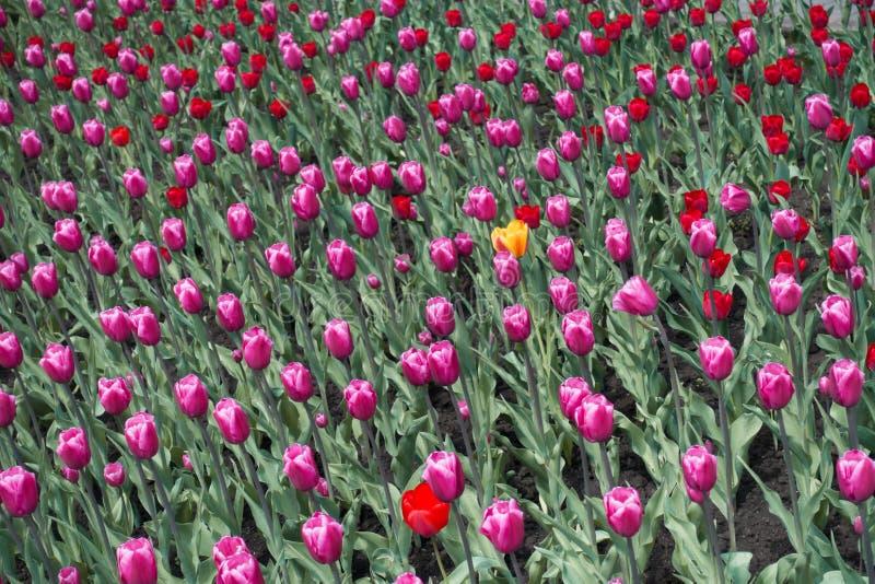 Определите желтый цветок тюльпана и розовые и красные одни стоковое изображение