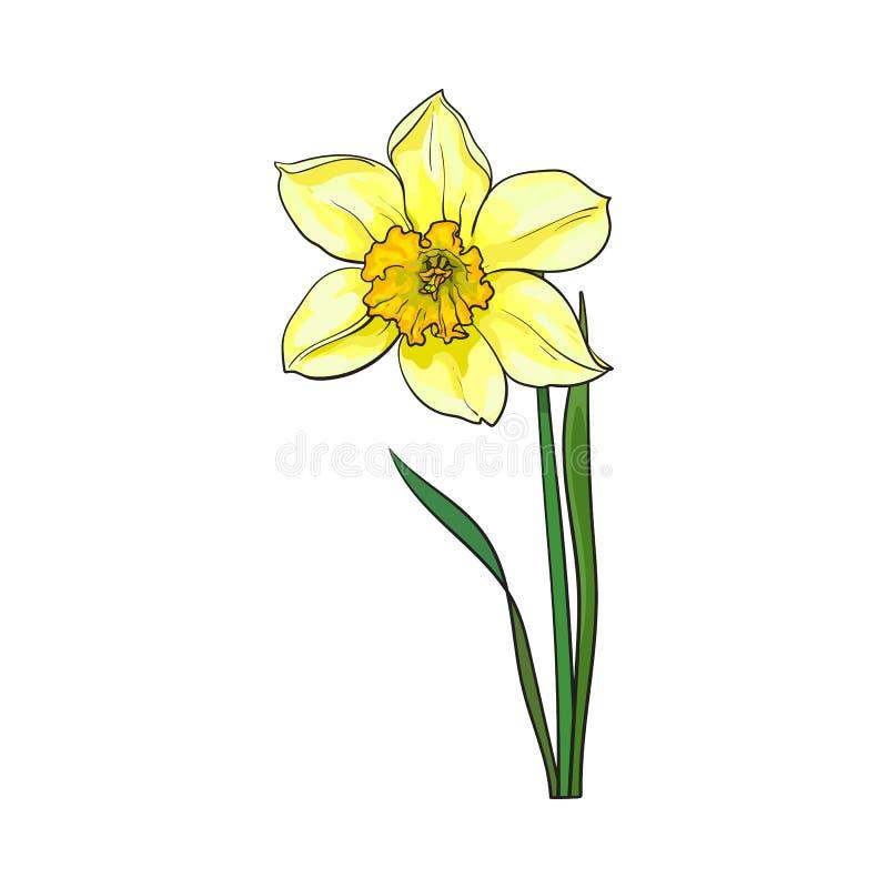 Определите желтый daffodil, цветок весны narcissus с стержнем и листья иллюстрация штока