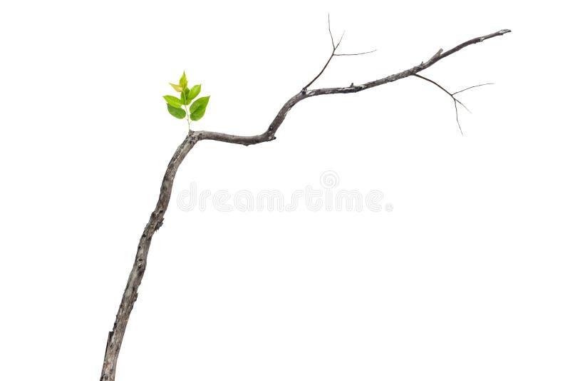 Определите зеленые лист на сухой ветви изолированной на белизне стоковые фотографии rf