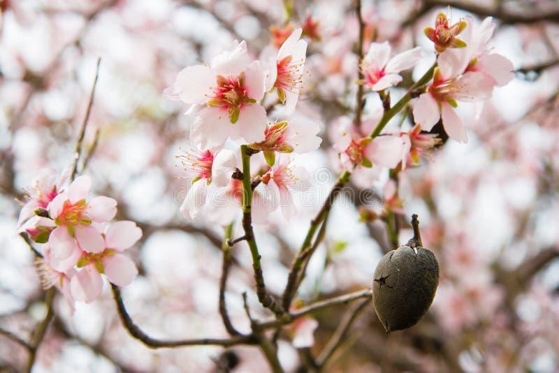 Определите зрелые раковину и цветения гайки миндалины на дереве в Pomos, Кипре и цветениях на дереве в Pomos, Кипре стоковая фотография rf