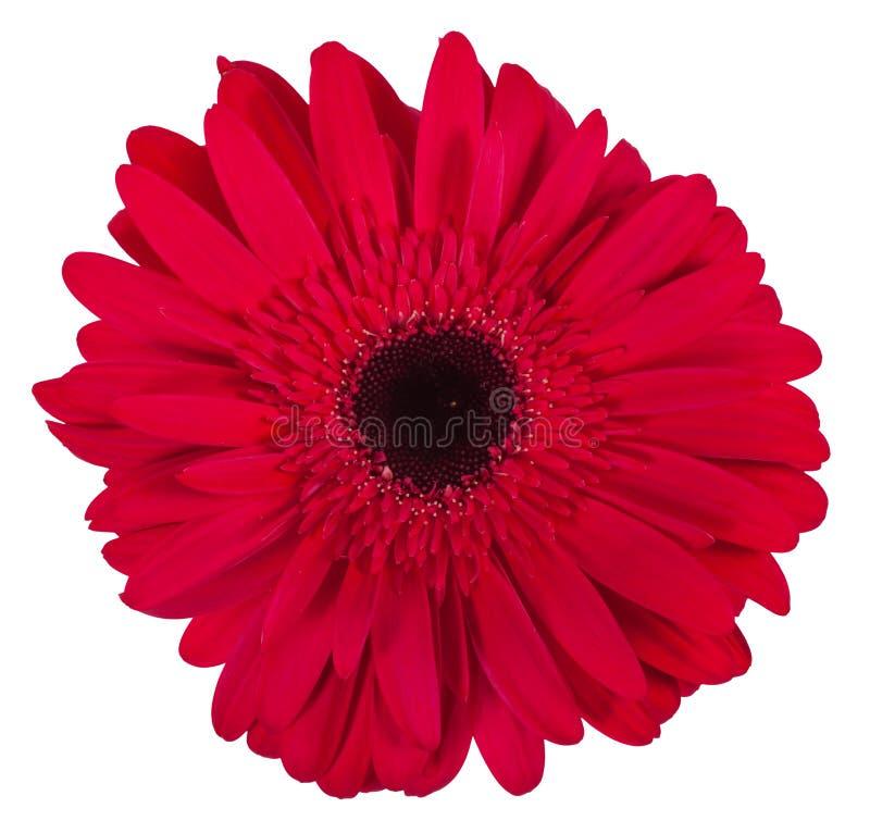 Определите розовый цветок gerbera изолированный на белой предпосылке стоковые изображения