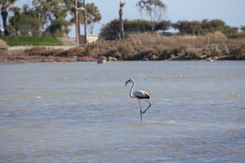 Определите ювенильный фламинго в пруде на миле ` s дамы, Lim озера соли стоковая фотография