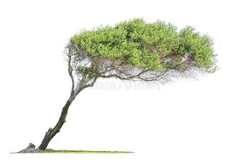 Опрокинутое дерево евкалипта стоковая фотография