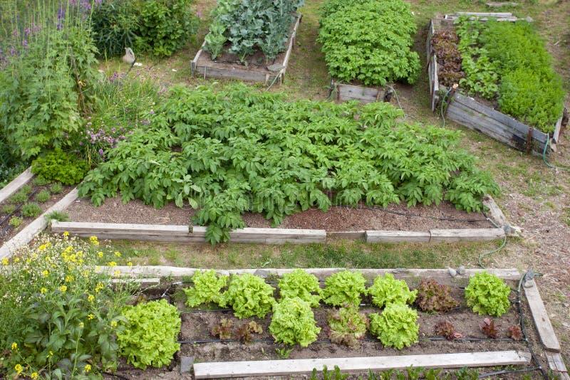 Поднятые кровати различного овоща засаживают картошки стоковое изображение