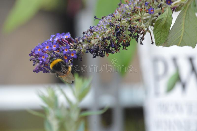 Опыление, происходящее, поскольку пчела труднодоступна стоковые фото