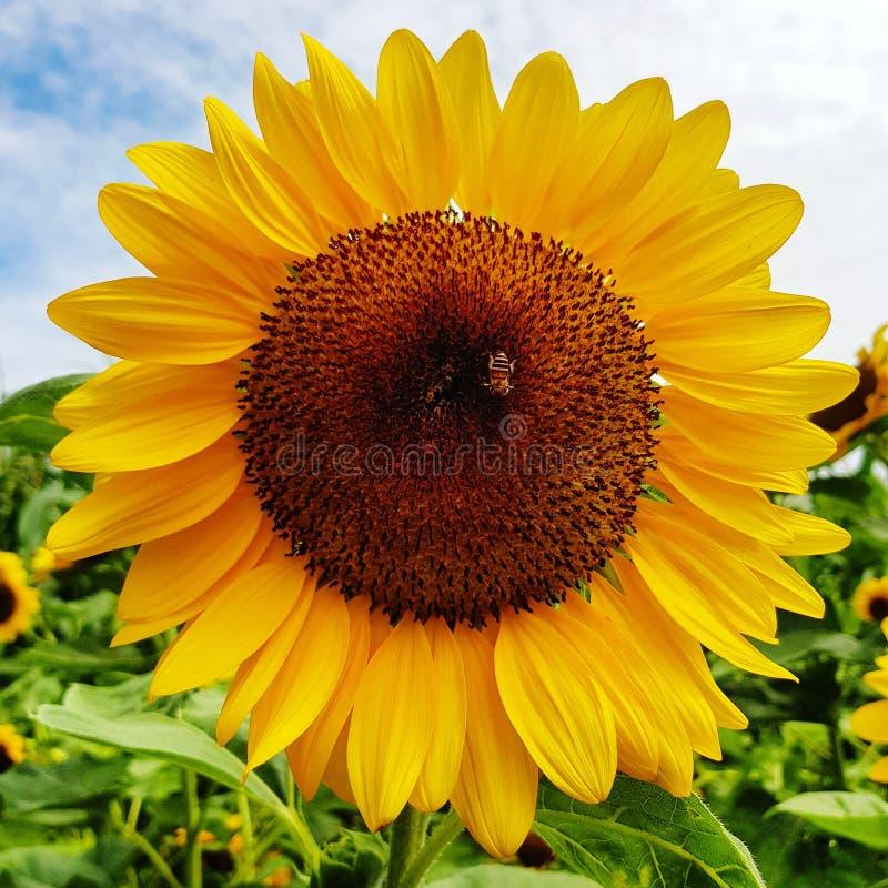 Опыление пчелы на солнцецвете в ферме стоковые изображения rf