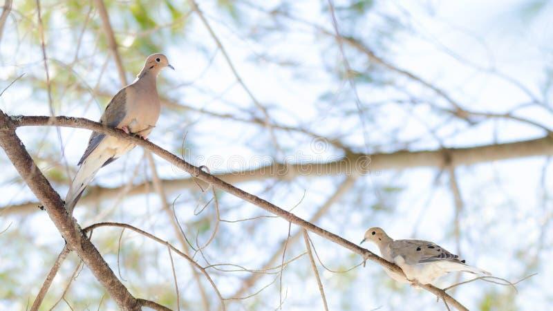 Оплакивая голуби, macroura Zenaida голубей черепахи на ветви дерева стоковая фотография