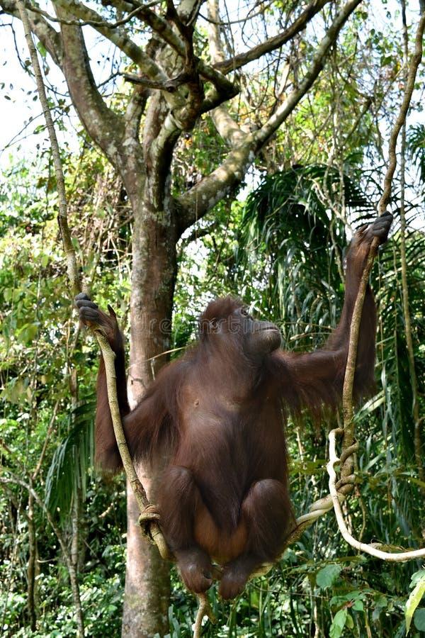 Орангутан Борнео в оздоровительном центре Sandakan, Sepilok Sandakan, Сабах Малайзия, Борнео стоковое фото rf