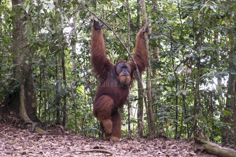Орангутан в джунглях sumatra стоковое фото rf