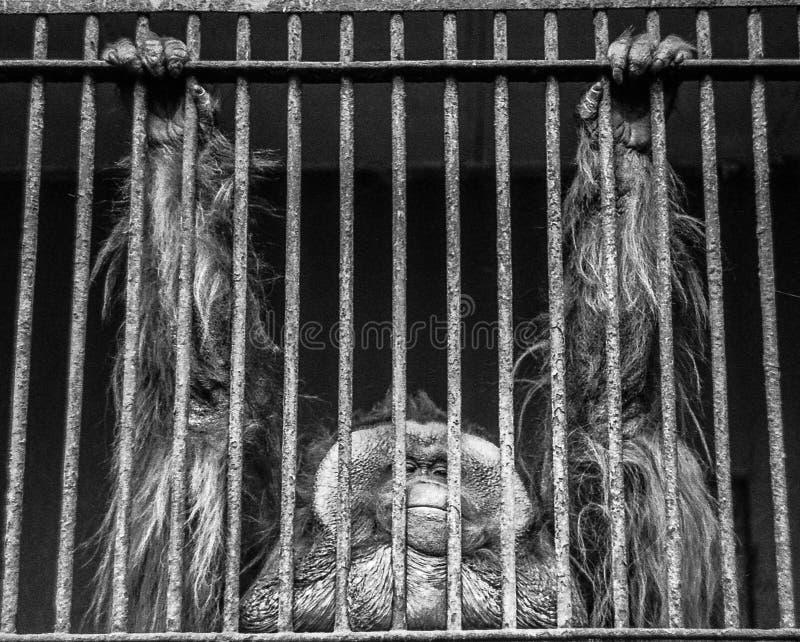 Орангутан в плене. стоковые фото