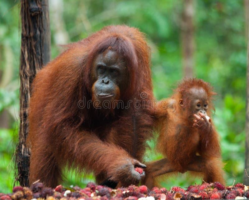 Орангутан женщины и младенца есть плодоовощ Индонезия Остров Kalimantan & x28; Borneo& x29; стоковые изображения