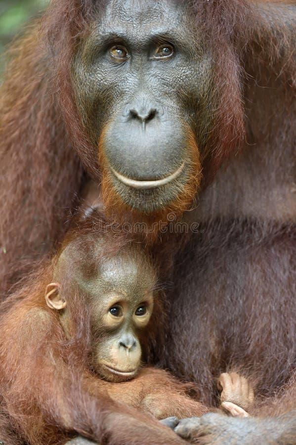 Орангутан и новичок матери стоковые фото