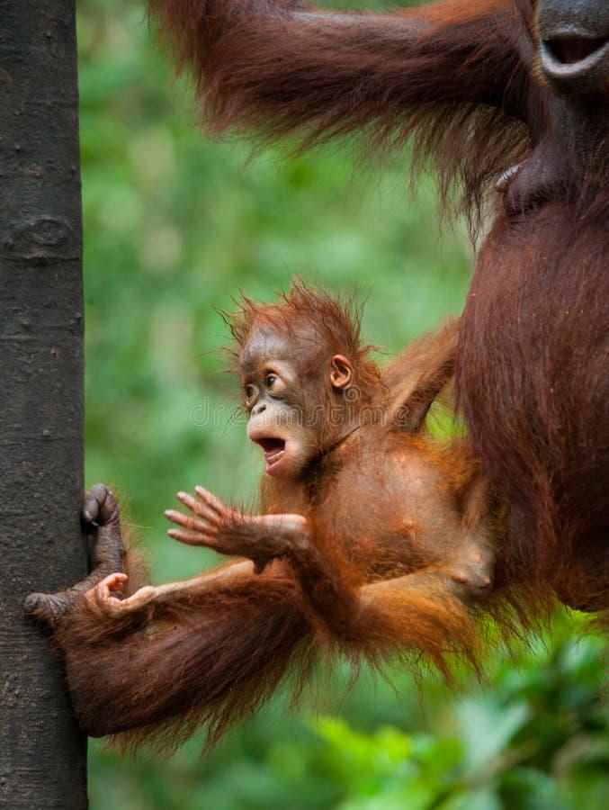 Орангутан младенца в одичалом Индонезия Остров Kalimantan & x28; Borneo& x29; стоковое изображение rf