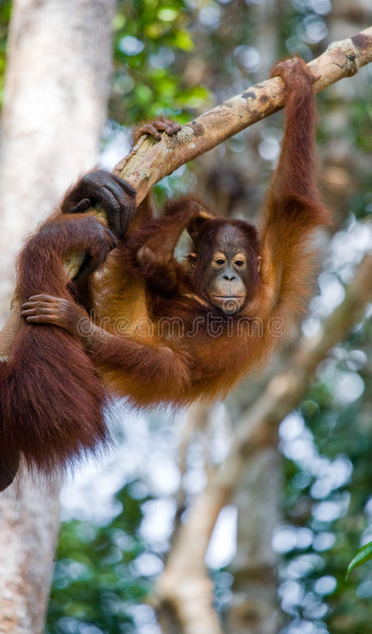 Орангутан младенца в одичалом Индонезия Остров Kalimantan & x28; Borneo& x29; стоковые фото