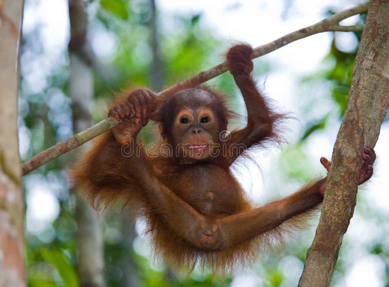 Орангутан младенца в одичалом Индонезия Остров Kalimantan & x28; Borneo& x29; стоковая фотография rf