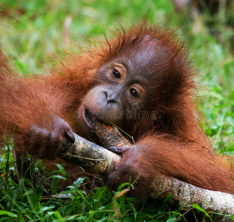 Орангутан младенца играя с деревянной ручкой Индонезия Остров Борнео & x28; Kalimantan& x29; стоковые фото