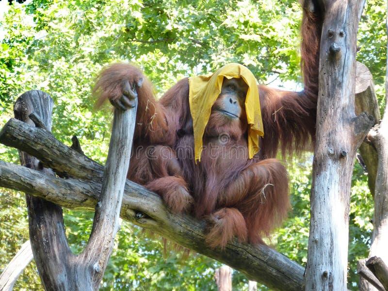 Орангутан на горячий летний день стоковое изображение