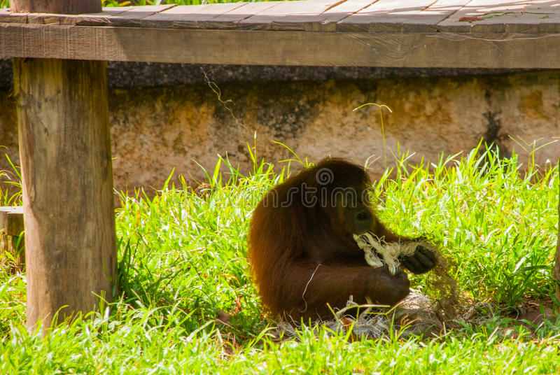 Орангутан от Сабаха, Малайзии, Борнео стоковая фотография rf