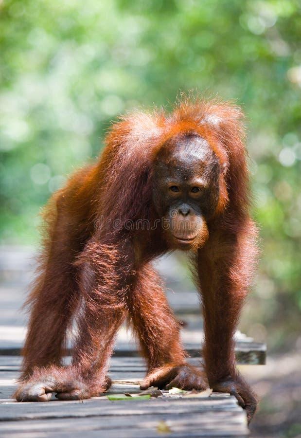 Орангутан стоя на деревянной платформе в джунглях Индонезия Остров Kalimantan Борнео стоковое фото rf