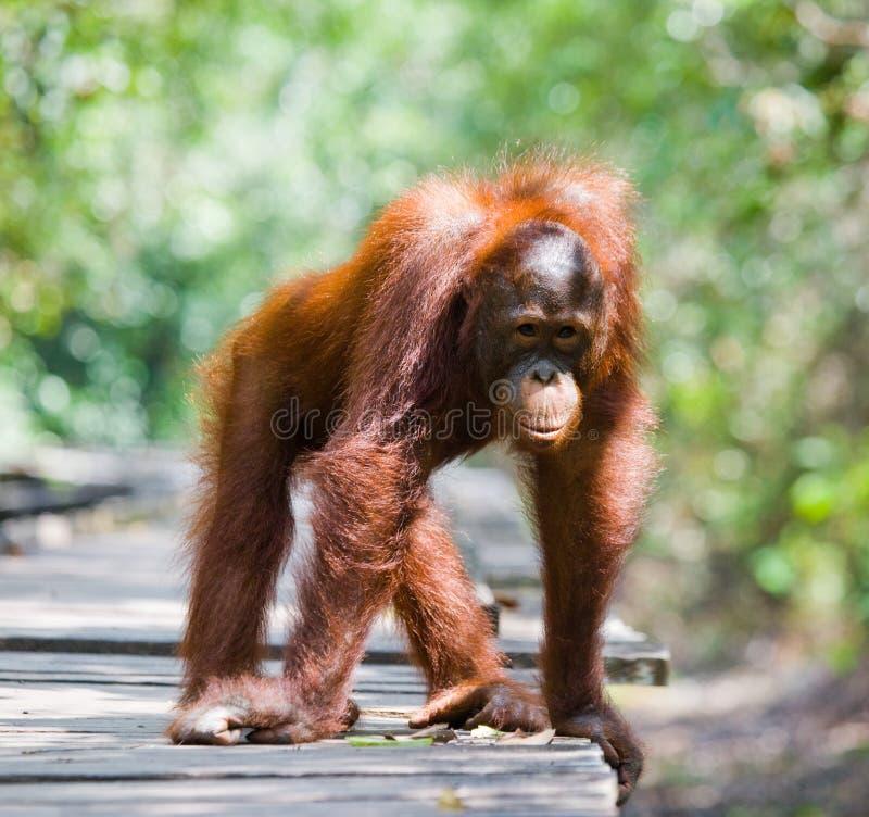 Орангутан стоя на деревянной платформе в джунглях Индонезия Остров Kalimantan Борнео стоковые изображения