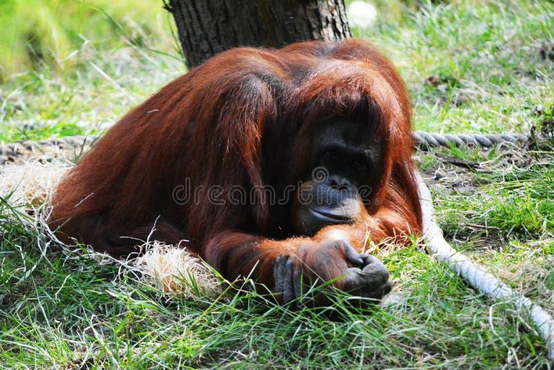 Орангутан стоковые фотографии rf
