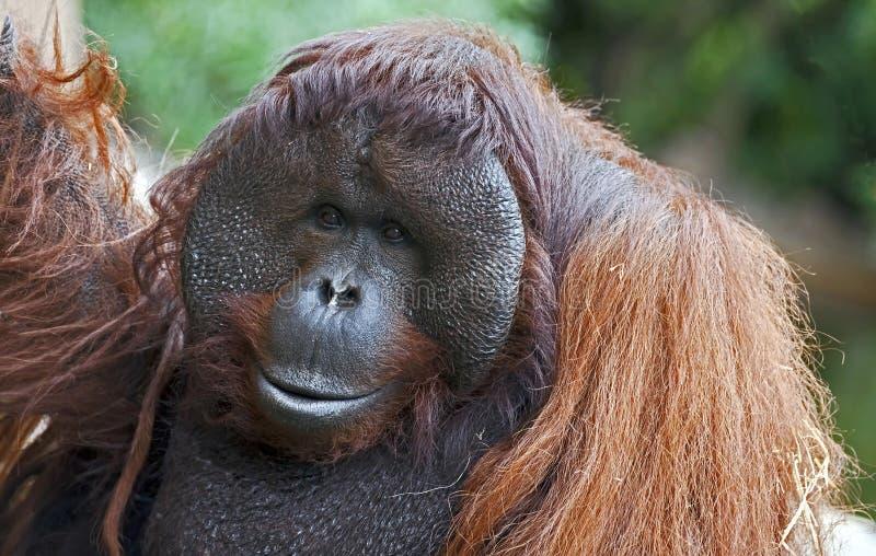 Орангутан Bornean стоковые изображения rf