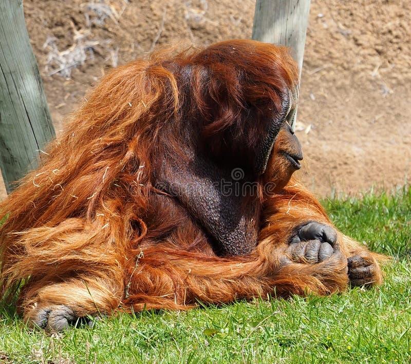 Орангутан Sumatran или Pongo Abelii сидя на траве стоковые изображения rf