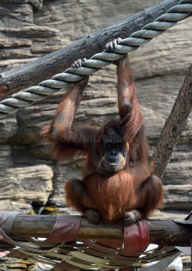 Орангутан Sumatran орангутана Sumatran в зоопарке Москвы стоковые фото