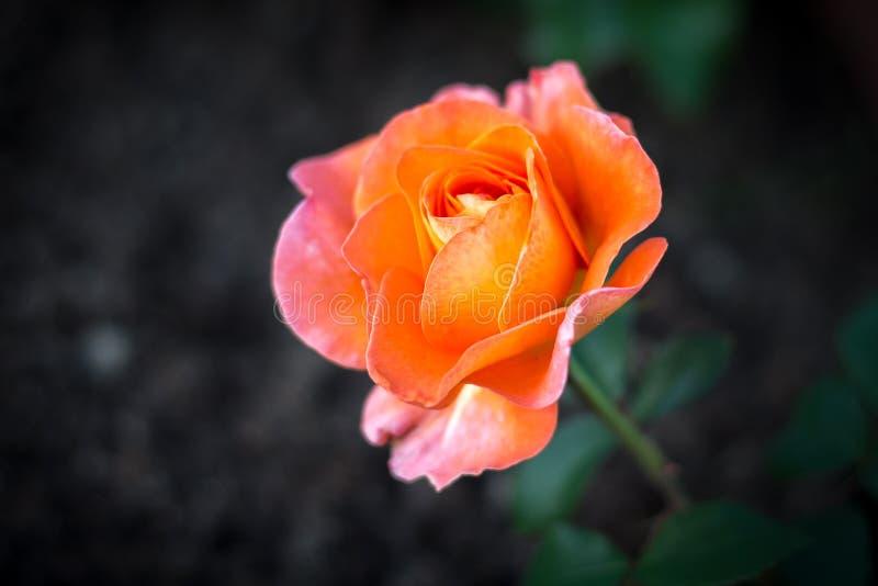 Орандж подняло в сад стоковое фото