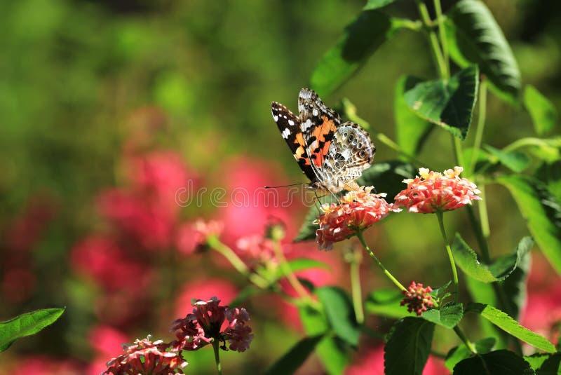 Оранжевая бабочка в луге стоковые изображения rf