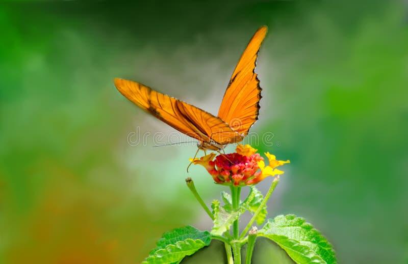 Оранжевая бабочка Джулии на подсказке цветка стоковое фото rf